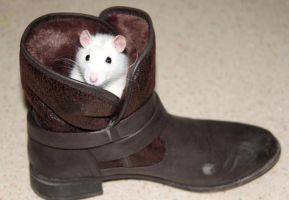 Rat in my shoe - Thor rat dans ma chaussure by perruche-perroquet