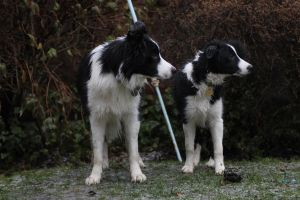 Collie Dogs 30 by Tasastock