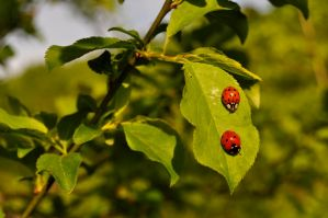 Spring friends - ladybugs II by Lk-Photography