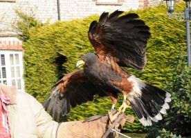 Harris Hawk Stock 7 by LRG-Photography