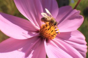 Honey Bee on a Cosmos #2 by Darklordd
