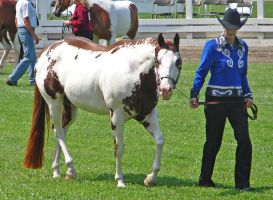 Halter Horse 25 by shi-stock