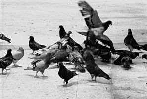 More Pigeons by cavenaghi9