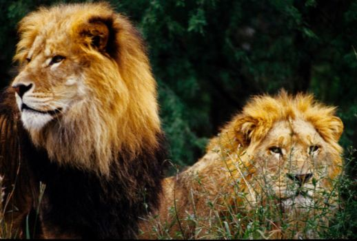 Lions by Art-Photo