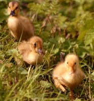 Ducklings by vwoodstock