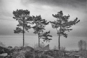 pines on the banks of the Volg by pogodinaea