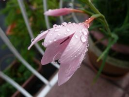 Water Drops On Pink Flower by Moka898