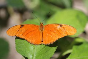 Orange Butterfly by Shingau