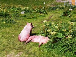 Pigs by Alcyone07