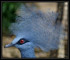 Blue-crowned pigeon by eskimoblueboy