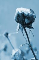 icy rose by Sylwe