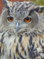 Eagle Owl by dch2206