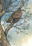 Goshawk in the Pines by windfalcon