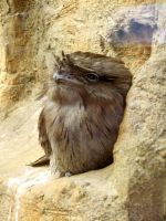 Tawny Frogmouth by JakeGreen