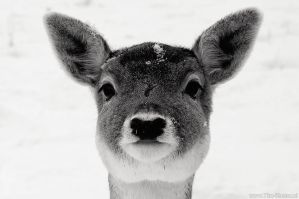 Winter 2010 - Bambi by TimKosterFotografie