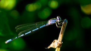 Damsel Fly by thankyoujames