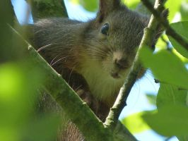 Squirrel 1 by Cundrie-la-Surziere