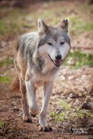 Mexican Gray Wolf by EdgedFeather