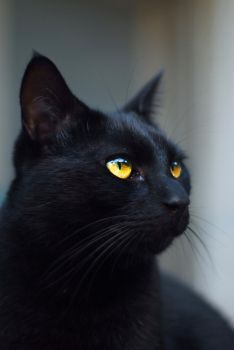 Black cat close-up 2 by Very-Free-Stock