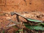 Praying Mantis_1 by PhotoshopGirl29