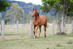 Dn WB chestnut trot front 3/4 view by Chunga-Stock
