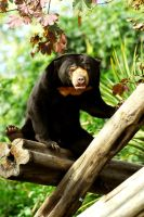 Sun Bear by Shadow-and-Flame-86