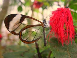Glasswing by Rach-Lphotography