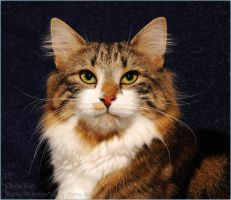 Norwegian Forest Cat12 by fiamen