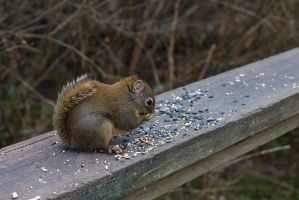 Chipmunk in Stanley Park by WaxItYourself