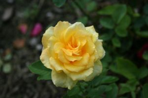 Rose 3 by JewelsStock