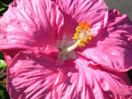 Hibiscus 4 by GreenMusic