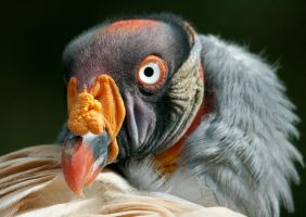 King Vulture headshot by Kippenwolf