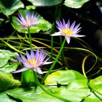 Waterlily by carterr
