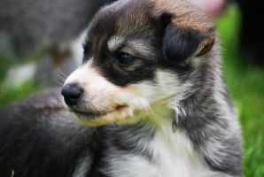 Puppy by EmiliaLingvald