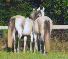 Andalusian Mares by Deirdre-T