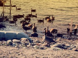 Geese in British Columbia by Veox1