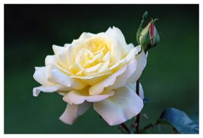 Rose by jm10photo