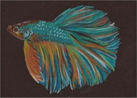 Betta IV ACEO by whitetippedwaves