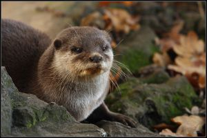 Otter by cycoze