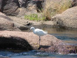 IBIS by charlieest