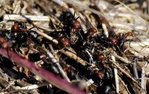 Ant Pile by Sheriannphotography