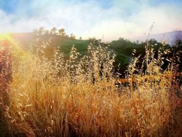 Tall Grass Through Evening's Light by Izzie-Hill