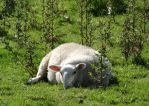 Tired Sheep by Corycat