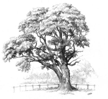 Maple tree drawing for Domin drawing course by gkorniluk