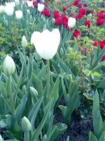 White Tulips by Infected-Rose