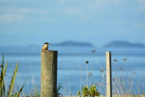 Kingfisher On Fence 4 by idyle