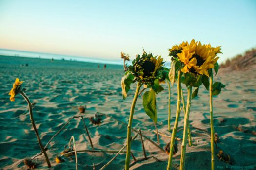 Sunflowers on the Beach by AperturistOne