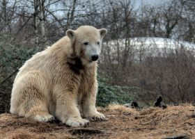 polar bear Knut 12 by Drezdany-stocks