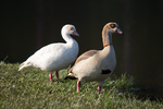 Egyptian Goose 1 by ringwraith10