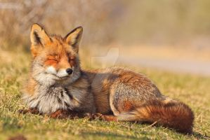 Peaceful Fox by AngelaLouwe